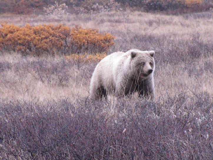 This is a good view of a bear if you have a big lens.