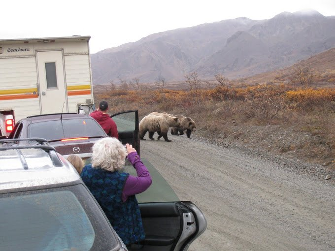Suggest not getting out of your car when you see a bear on the road.....