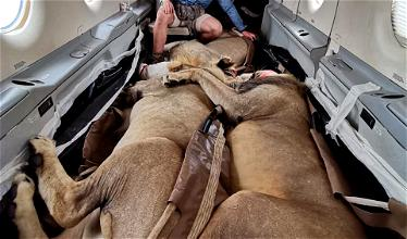 Wow: How Lions Are Transported By Plane In South Africa